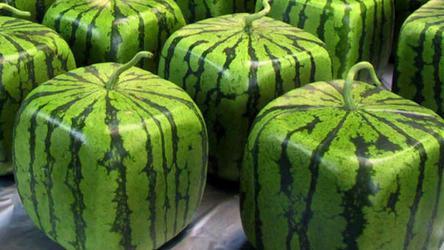 В какой стране научились выращивать арбузы любой формы, допустим, в форме куба?
